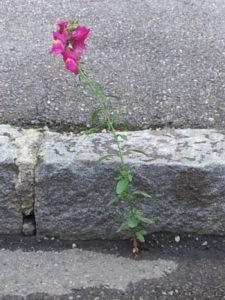 asphaltierter Bordstein in Großaufnahme und eine Pflanze, die man landläufig Froschgoscherl nennt, die sich durch eine kleine nicht offensichtliche Ritze im Asphalt durchgekämpft hat