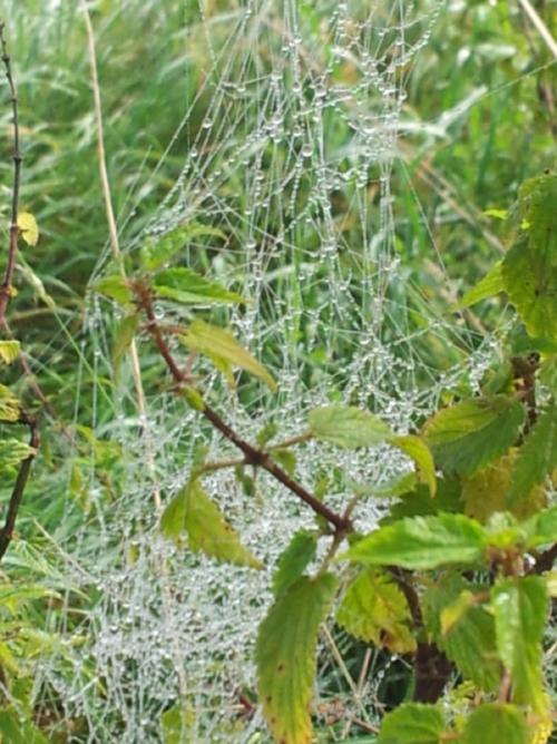 Spinnennetz in unüblicher Form, schaut mehr aus wie ein unstrukturierter Haufen, mit Morgentau darauf