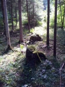 Zwielicht deutet auf eine Lichtung im Wald hin, der Betrachter steht im Schatten der Bäume, zwei moosbewachsene Baumstümpfe stehen zwischen dünneren Bäumen