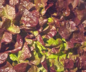 Struktur eines Eichblattsalates in Grossaufnahme, das rotbraun - hellgrüne Farbenspiel