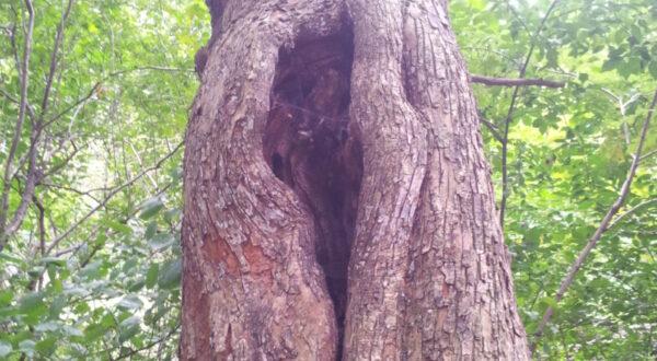 klaffende Öffnung in Baumstamm, deren Form an eine Vagina erinnert