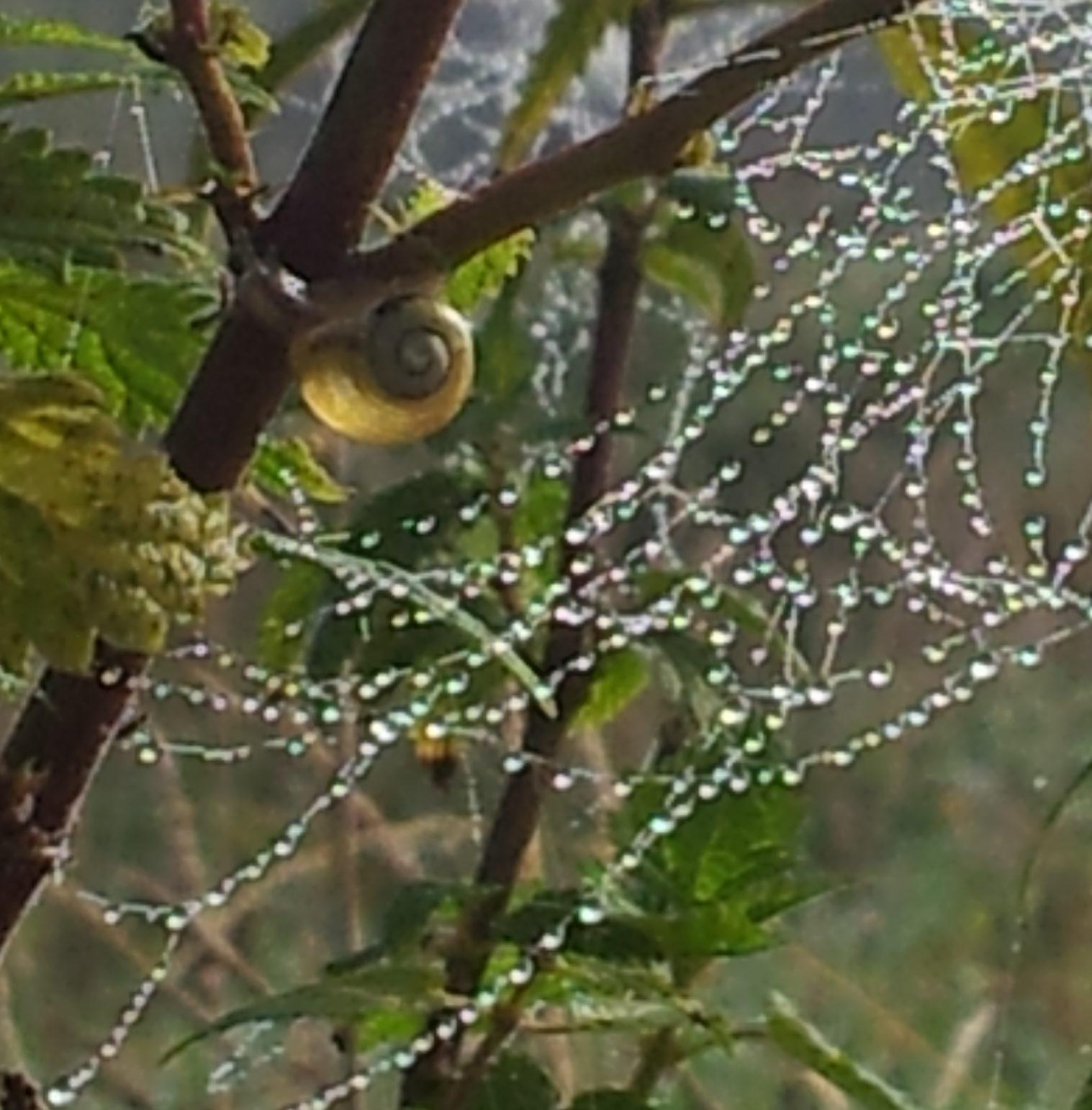 auf einer Brennessel hängt ein Spinnennetz mit Morgentau und auf der Brennessel sitzt mittig eine kleine Schnecke mit Haus, Grossaufnahme