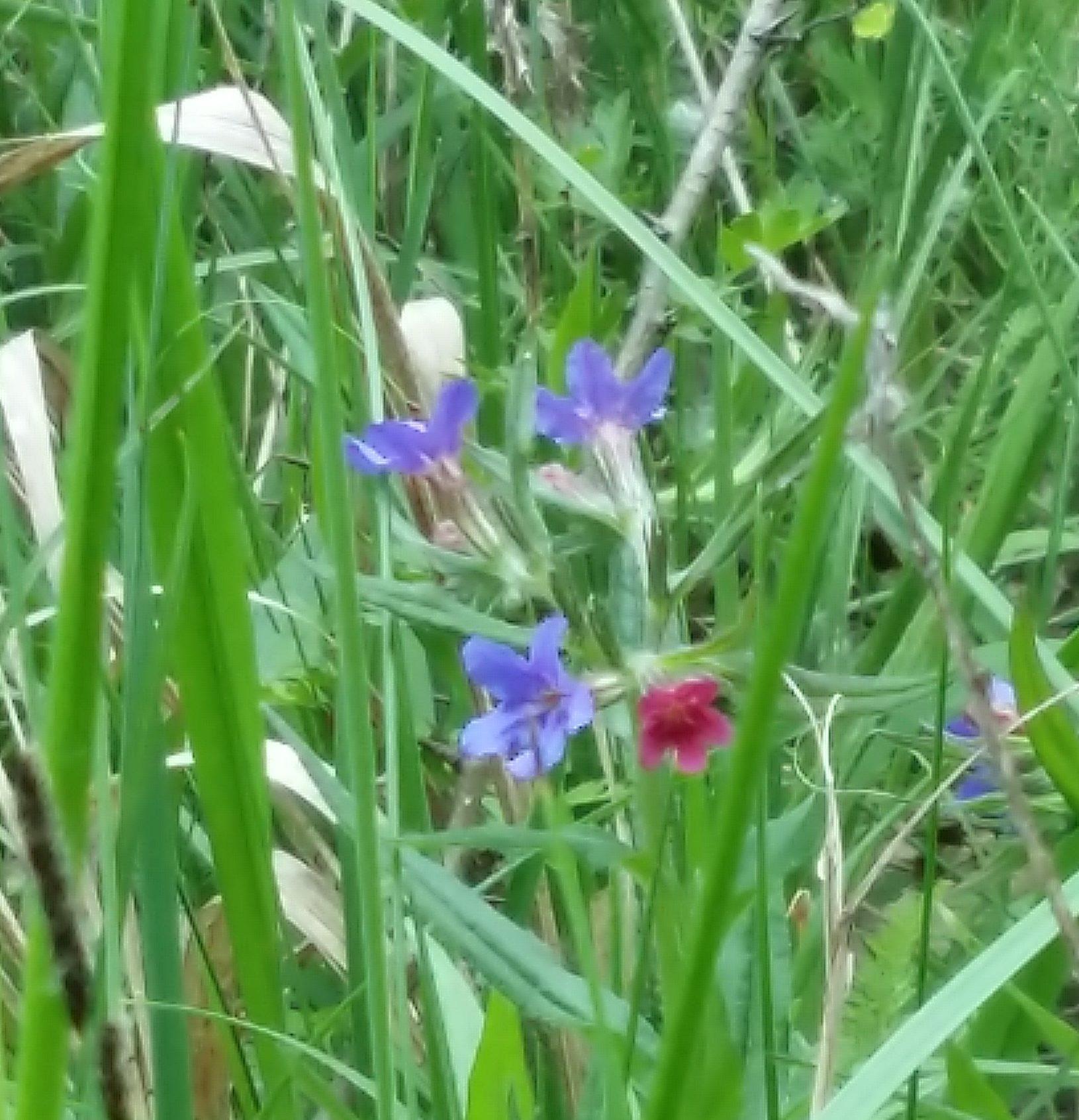im hohen Gras sieht man in Grossaufnahme blaue und rote Wiesenblumen