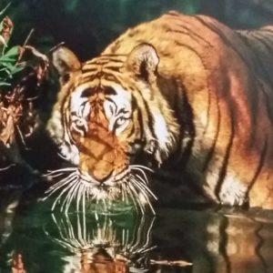 ein wildlebender Tiger, der kniehoch im Fluss steht, schaut trinkend in die Kamera