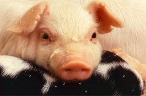 das zufriedene Schwein
