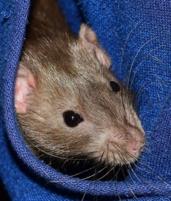 eine Ratte schaut aus blitzblauem, grob gewebtem Stoff hervor, man sieht nur den Kopf mit den Ohren