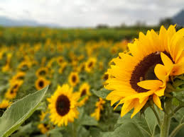 ein Sonnenblumenfeld mit einer Blume im Vordergrund