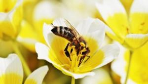 in Großaufnahme sieht man eine Biene, die in einer gelben Blüte trinkt