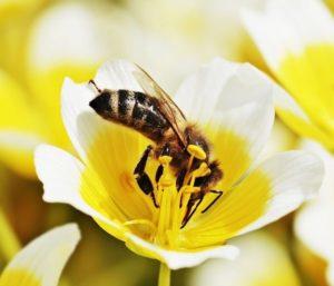 eine Biene in einer gelben Blüte