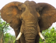ein großer Elefantenkopf schaut direkt in die Kamera