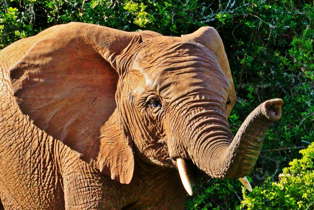 ein Elefant streckt riechend seinen Rüssel nach vorne, hinter ihm Busch