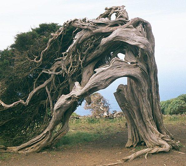Wacholderbaum auf El Hierro