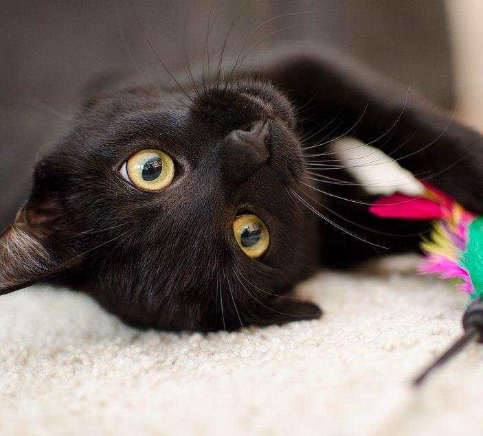 schwarze Katze schaut verspielt in die Kamera