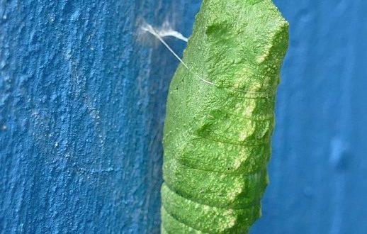 eine Schmetterlingspuppe in grün auf blauer Hintergrundwand