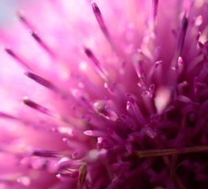 eine lila Blüte in Makroaufnahme