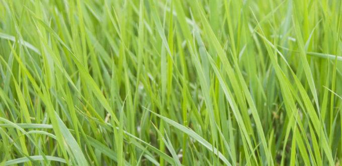 Gras, nichts als Gras in Grossaufnahme