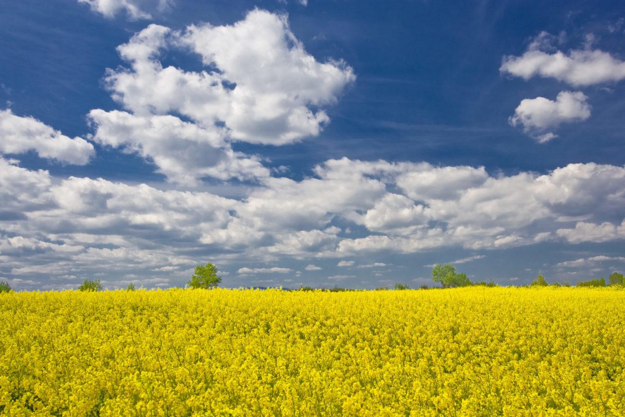 die Weite eines Senffeldes mit Wolken im blauen Himmel