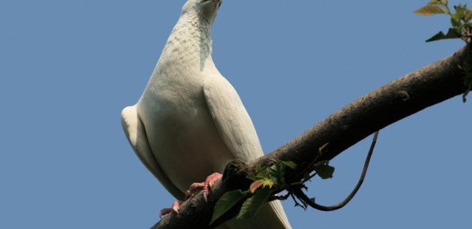 eine weisse Taube sitzt auf einem Ast, blauer Himmel als Hintergrund