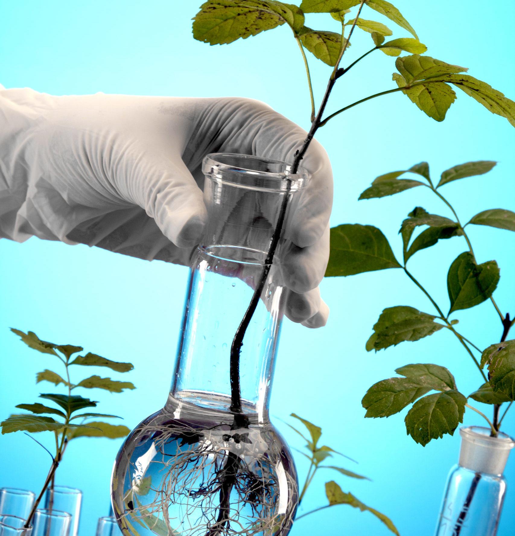 eine behandschuhte Hand hält ein Reagenzglas, in dem ein Pflanzentrieb mit Blättern oben und Wurzeln unten zu sehen ist
