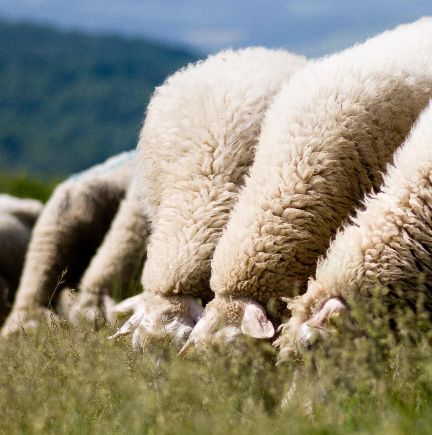Schafe weiden dicht nebeneinander auf der Wiese