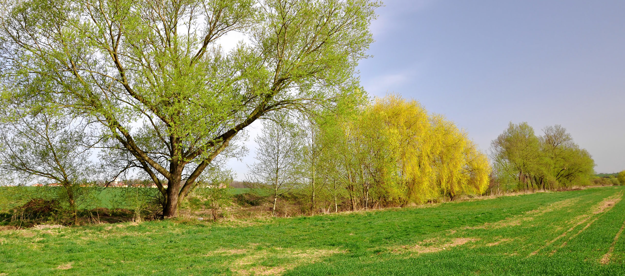 zartgrün und gelb blühende Bäume am Rand eines grünenden Feldes