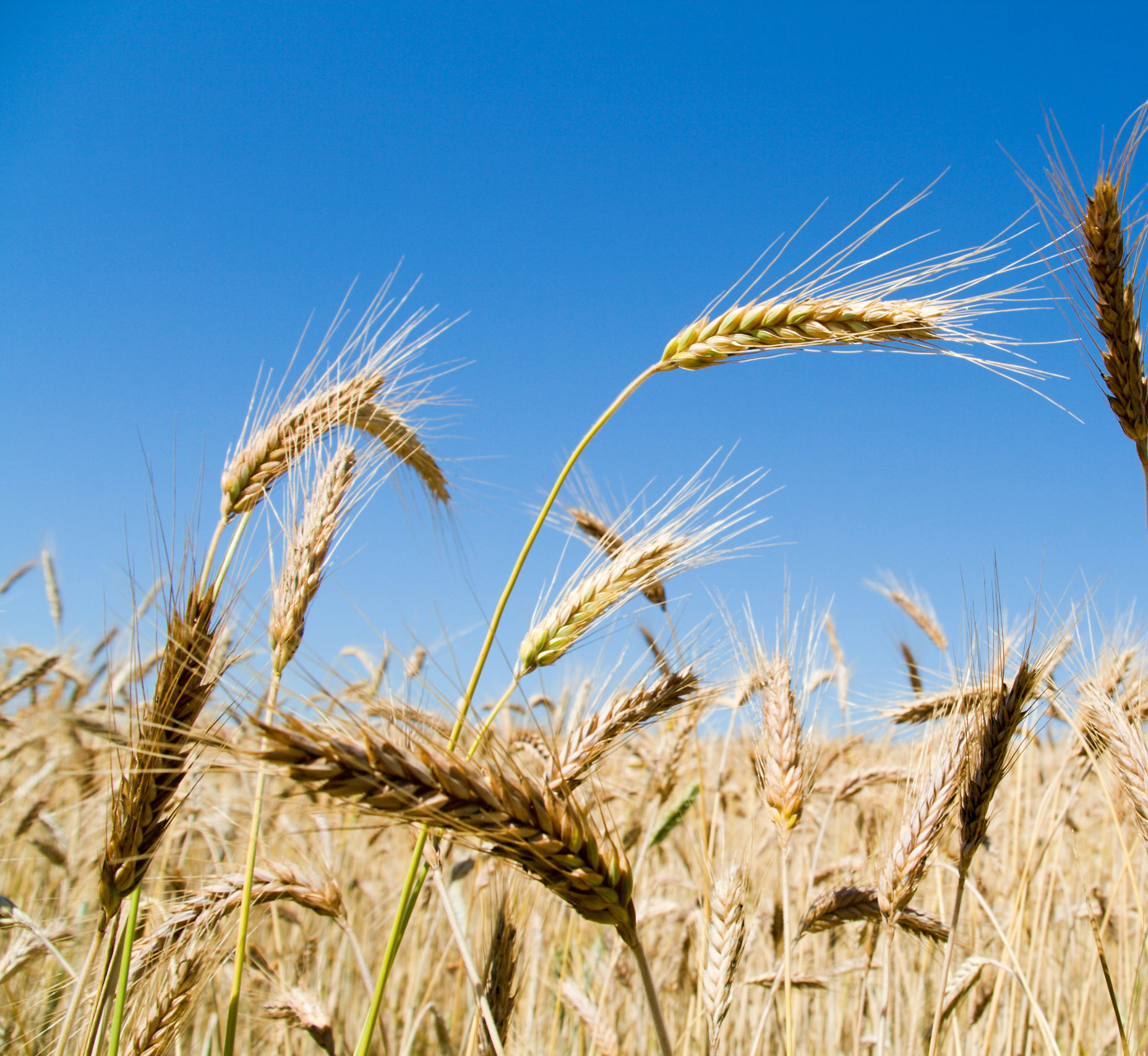 ein reifes Getreidefeld mit einzelnen Ähren, die herausstechen, vor blitzblauem Himmel