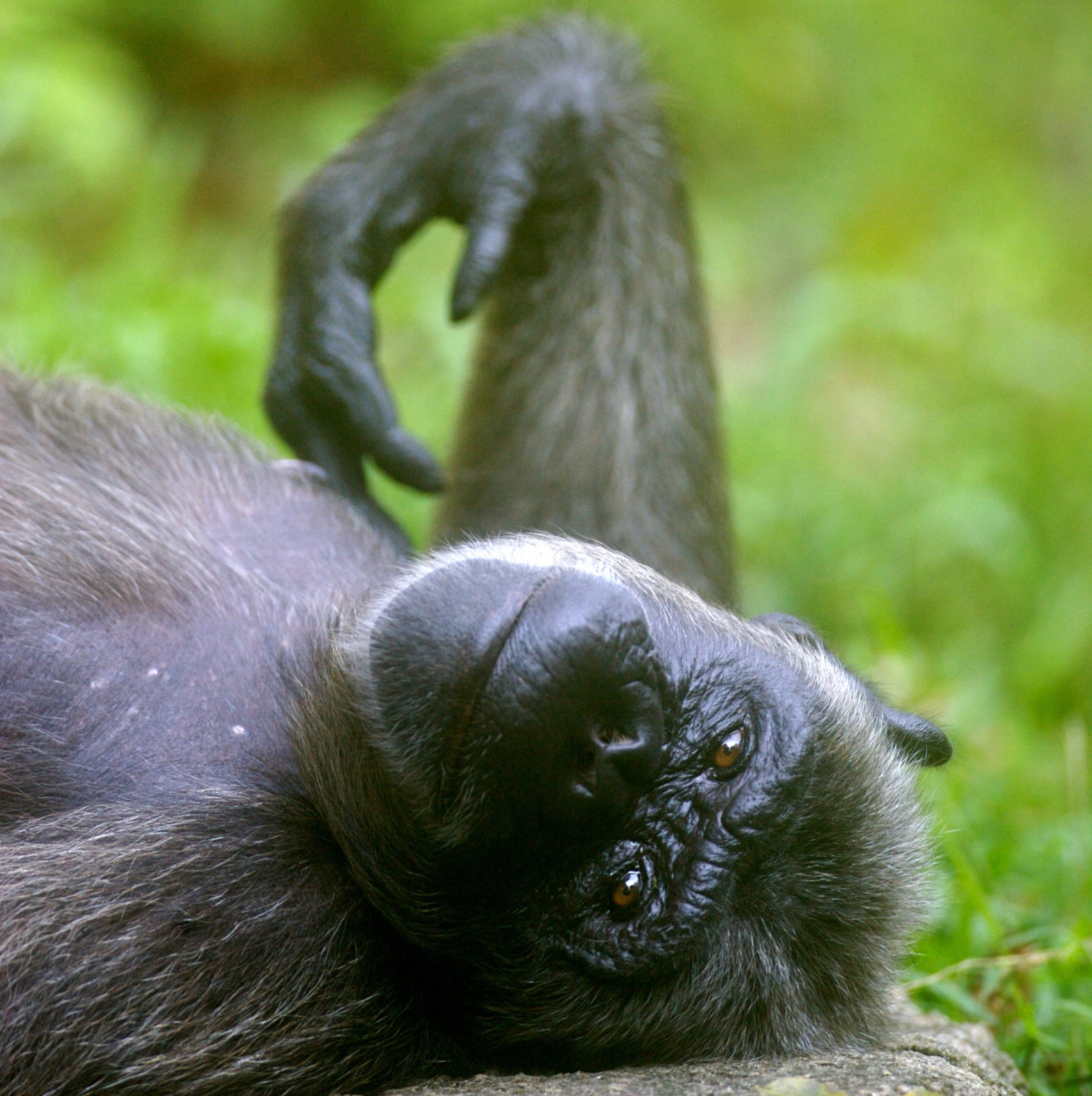 Ein Schimpanse liegt chillig am Rücken und schaut relaxed in die Kamera