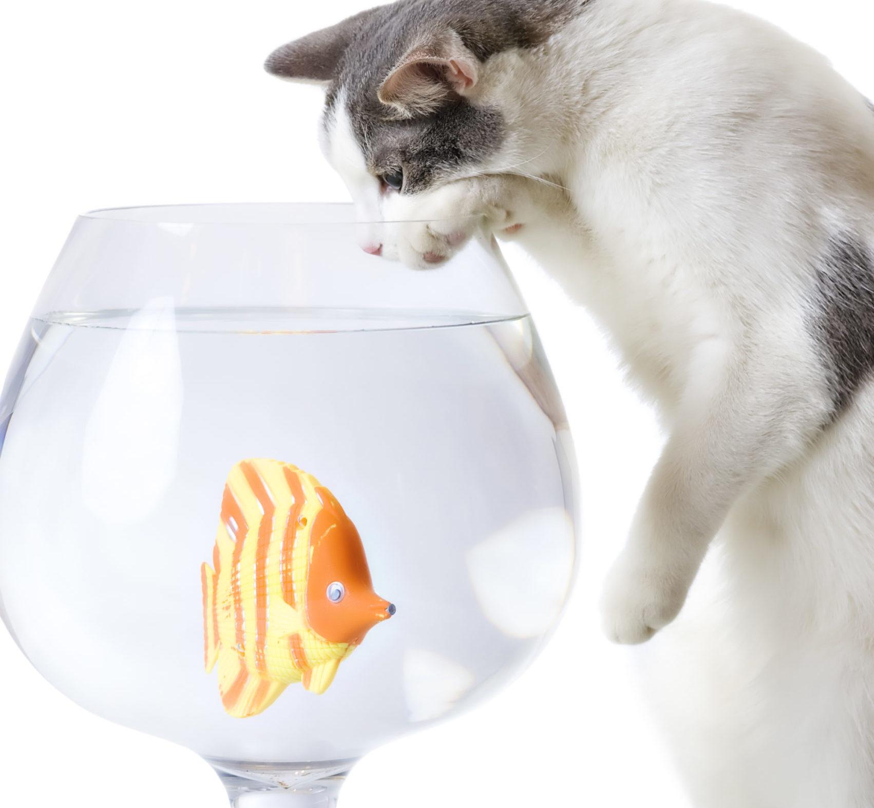 eine Katze schaut von oben in ein klassisches Goldfisch-Glas hinein, auf den Hinterbeinen aufgestellt schaut sie fasziniert auf den gelben Diskusfisch im Glas